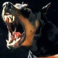 Snarling Rottweiler