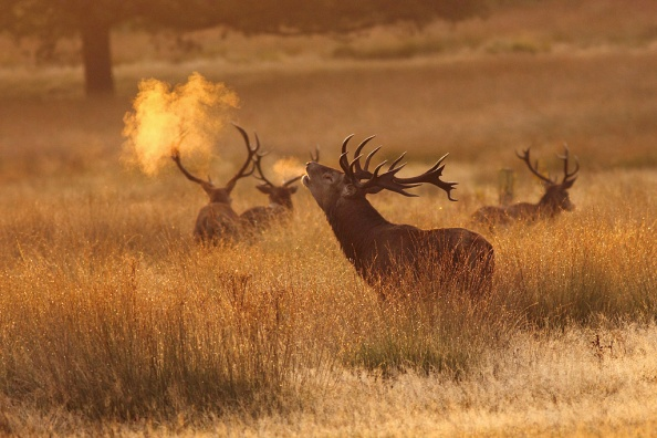 Red deer in Richmond Park, London.