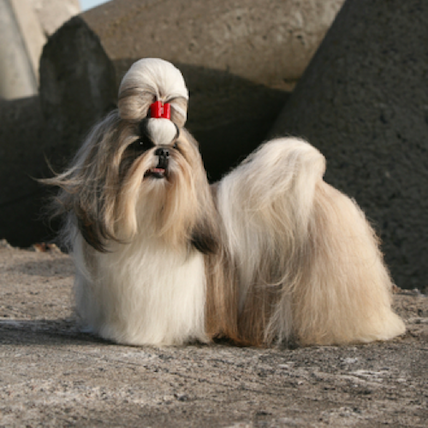 Shih Tzu with bow in hair
